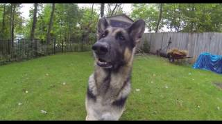 GSD Growling on Command - Part 2