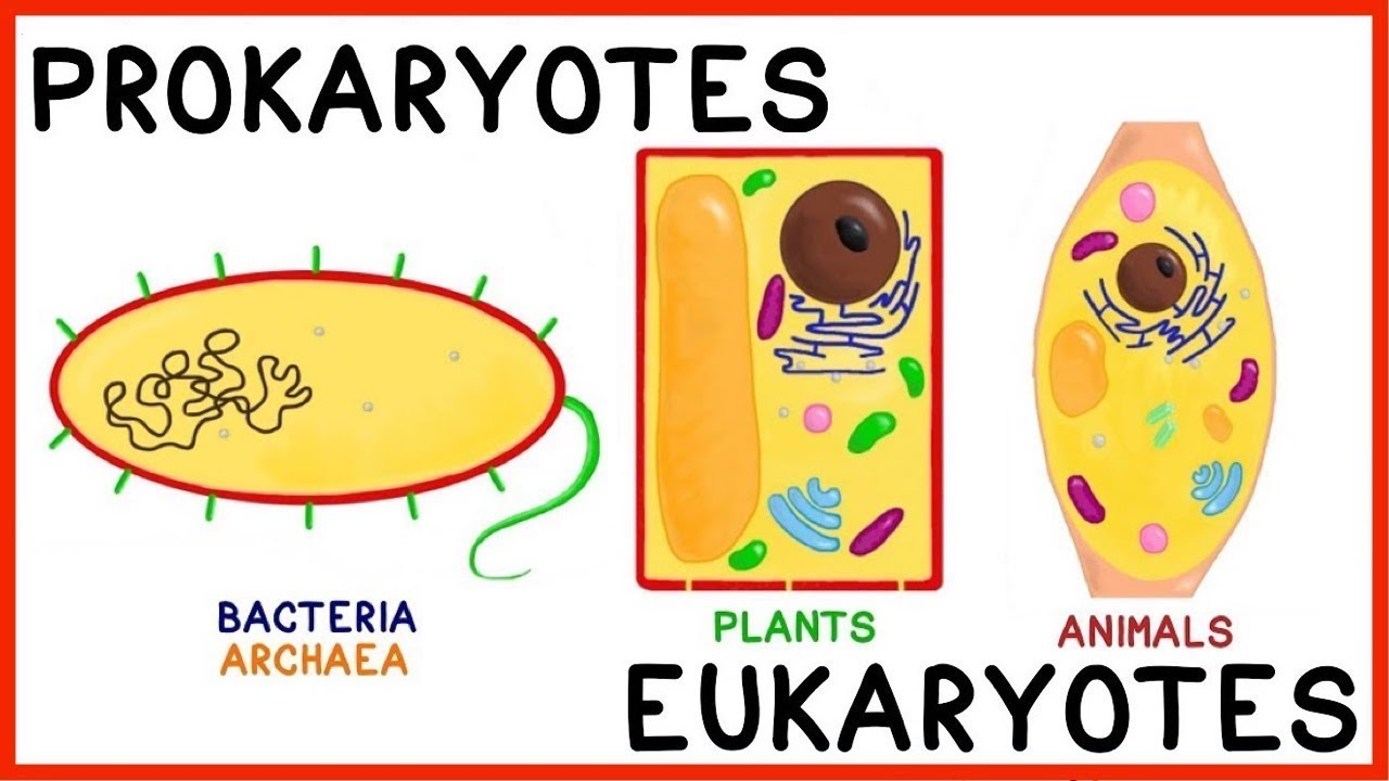 Prokaryotes Vs Eukaryotes Compare And Contrast Plus Antibiotics