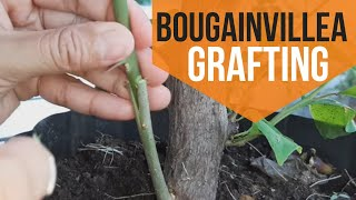 How to graft bougainvillea [6 easy steps]