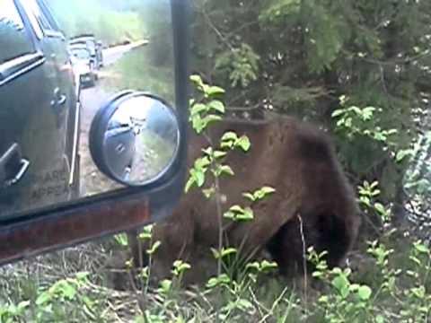Grizzley Bears Kitimat, British Columbia Canada