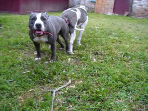 Blue And Gray Pitbull Www Titanbluepitbulls Com Youtube
