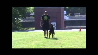 Kingston Martin Vom Bullenfeld - 4 Years Old (ipo Obedience And Protection Training Clips)