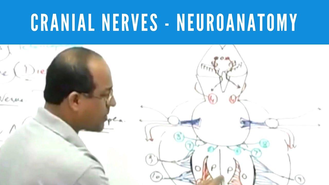 Cranial Nerves - Neuroanatomy - YouTube