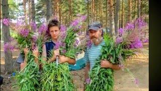 «Иван Чай –Русский чай» Авторы ролика Бойкова Ольга и Бойков Александр