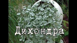 ДИХОНДРА СЕРЕБРИСТАЯ – лучшее ампельное растение! Уход и разведение в домашних условиях