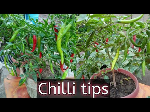 how to grow chillies at home how to grow chilli plant at home how to grow chili peppers 