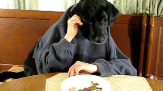 Black Labrador Retriever At Kitchen Table-silly Dog