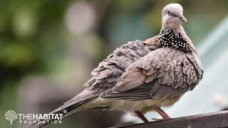 Backyard Birding - Episode 3: Pigeons & Doves