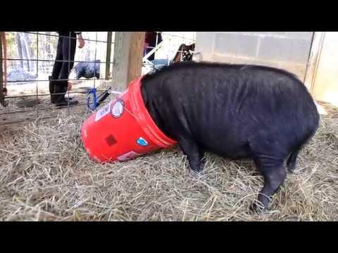 Blind Spot Animals Sanctuary And Rescue Pig Rescue Durham