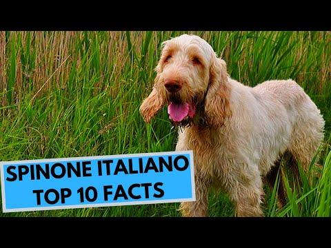 Spinone Italiano - TOP 10 Interesting Facts