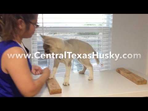 Siberian Husky Dog Show Training