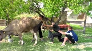 приняли роды у коровы