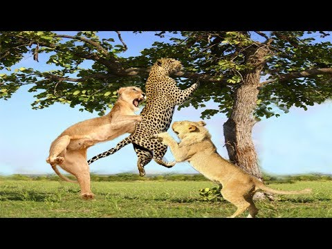 Amazing! Lion attacks Leopard to capture The Prey, Best unexpected raids and battles