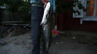 Двухкилограмовый сом!!! Рыбалка в Речице!!!