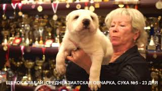 ПРОДАЖА ЩЕНКОВ АЛАБАЙ, СРЕДНЕАЗИАТСКАЯ ОВЧАРКА. www.r-risk.ru +79262205603 ЯГОДКИНА ТАТЬЯНА