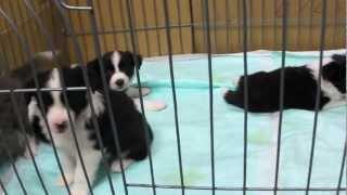 子犬が生まれていますよ http://www.woof.jp/bc.html.