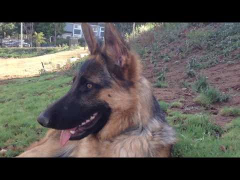 Ziggy Coastal German Shepherd Rescue San Diego