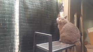 Британский кот уходит к соседям)