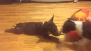 Miniature Bull Terrier Breeders