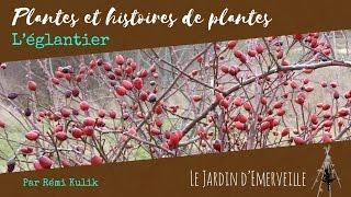 Plantes et histoires de plantes : l'églantier