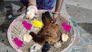 Murgi Hen Harvesting to Chicks | New Born Murgi Hen Birds Smallest Chicks | Fish Cutting A to Z  Hen
