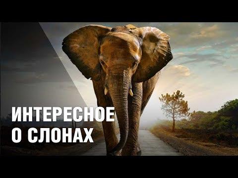 Вопрос: Почему из крупных сухопутных животных на земле остались только слоны?