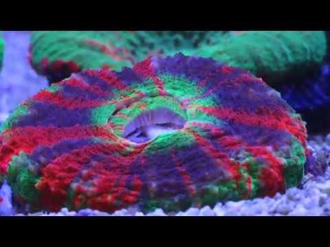 Scolymia Coral Feeding (Time Lapse)