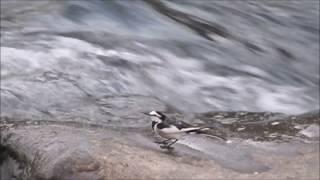 川の石の上で、セキレイが何度も跳ねたり回ったりしていました。 まるでダンスの様でした。