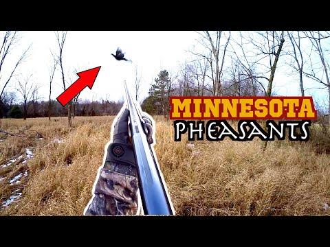 Minnesota Pheasant Huntning
