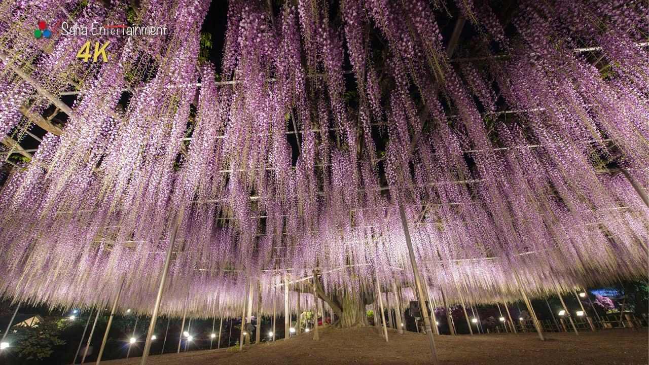 4k Ultra Hd Ashikaga Flower Park Wisteria