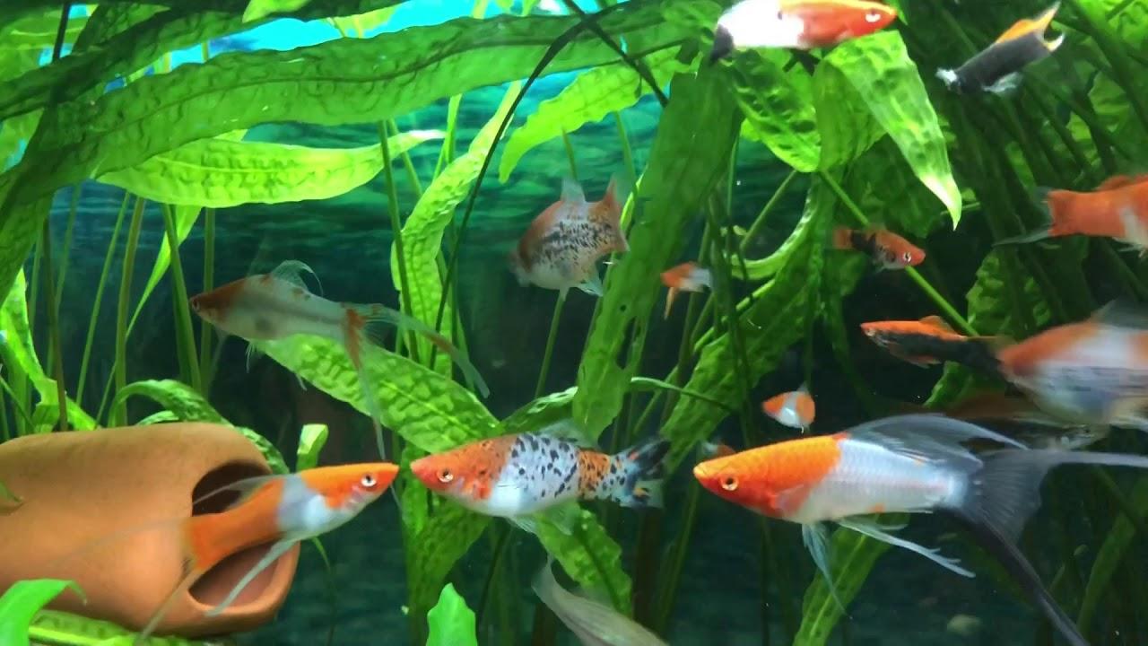 what do swordtail fish eat