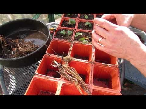 Planting and Preparing Strawberry Root Starts: Don't Bury the Crown - MFG 2014