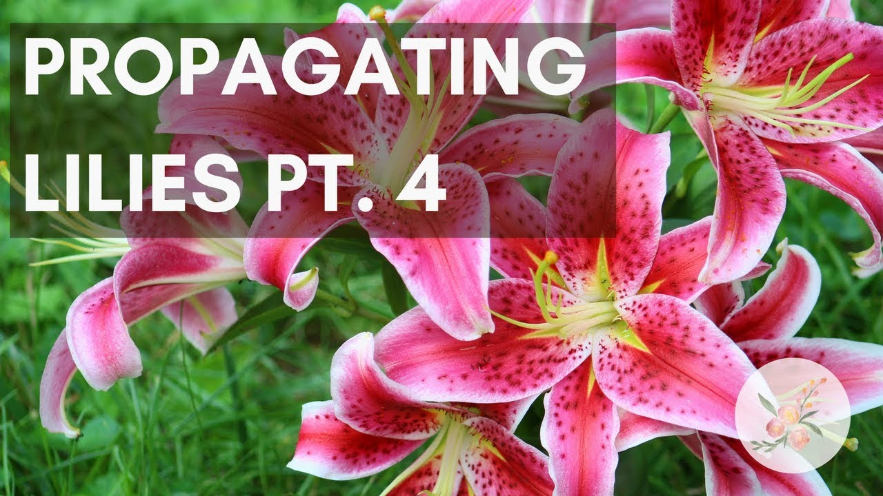 Propagating Lily Bulbs Part 4 Pretend Cut Flower Farm Youtube