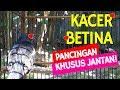 Kacer Betina Memanggil Kacer Jantan Agar Gacor Ampuh Buat Kacer Jantan Bisu Nyaut  Mp3 - Mp4 Download