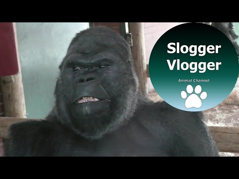 Silverback Gorilla Breaks Up Fight Between His Troop