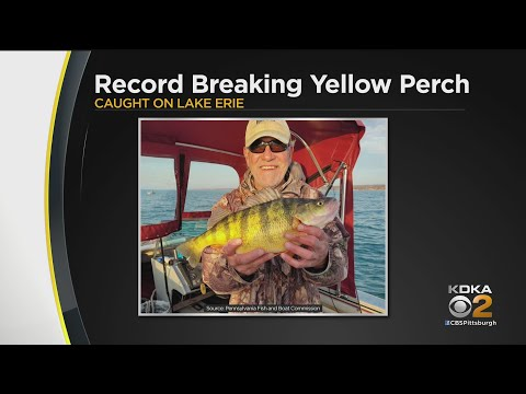 Pennsylvania Record Breaking Yellow Perch Hooked In Lake Erie