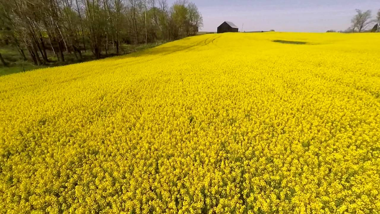 canola fields of gold youtube