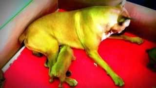 Boxer, Zeux Cuidando A Sus Cachorros Gold Line Kennels