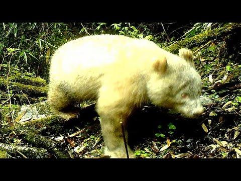 شاهد: كاميرات محمية طبيعية ترصد باندا بيضاء نادرة في الصين…  - نشر قبل 5 ساعة