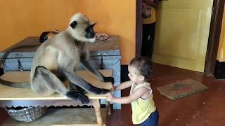 Male langur is scared of getting into the house but the daring baby is lalling nearby