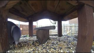 Gopro Bird Table Test 2 Pigeon Feeding