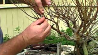 Ficus Specimen Bonsai repot and styling part 1