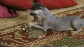 'Crusties' (Chinese Crested & Yorkie) Puppies