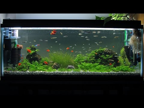 Female Guppies Keep Dying  Tropical Fish Forums