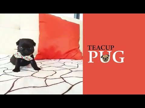 Teacup Pug - A To Z Guide For The Owners