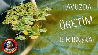 HAVUZDA YENİ LEPİSTES YAVRULARI.mp3