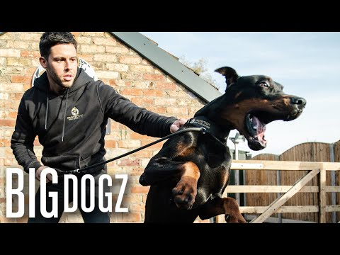 Intruders Beware! The World's Toughest Guard Dogs | Big Dogz