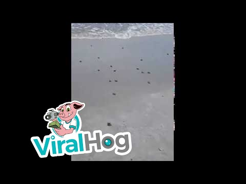 Enjoy the majestic derpiness of a baby sea turtle horde shimmying into the ocean
