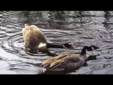 sounds of goose - canada geese