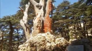 Ливанский кедр. Сад Седар (Cedars of the Lord). Promo